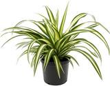 "Spider Plant 'Chlorophytum comosum' 4"" 8"""