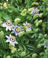 "Passion Flower Vine 'Passiflora' climbing Trellis 10"""