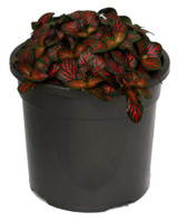 "Fittonia Mosaic 'Nerve' Plant 4"""