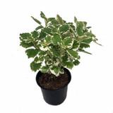 "Ivy Swedish 'Plectranthus coleoides' Variegated 4.5"""
