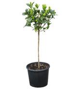 """Gardenia Patio Tree Std 10"""""""