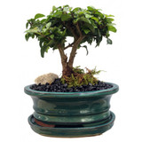 """Bonsai Tree 4"""" to 8""""+"""