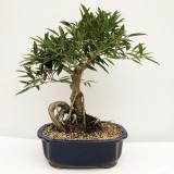 Ficus Willow Leaf