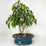 Oriental Ficus