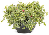 """Mezoo Plant in a Hanging Basket  6"""""""