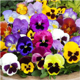 Pansy 6""