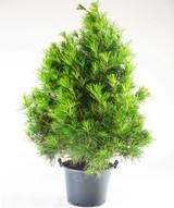 Japanese Umbrella Pine 'Sciadopitys verticillata' 2g