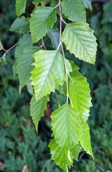 Birch River Tree 'Betula nigra' 15g