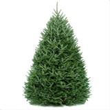 Big and beautiful Fraser Fir Christmas Tree
