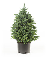 Blue Spruce 'Picea pungens' 3g or 7g