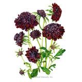 Black Knight Scabiosa Pincushion Flower