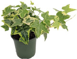 """Ivy English Hardy  Variegated 4"""" and Hanging Basket 10"""""""