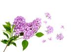 Lilac 'Syringa vulgaris' Assorted 2.25g