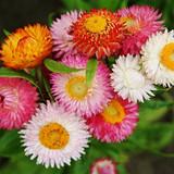 "Helichrysum 'Everlasting Flower' in a Hanging Basket 10"""