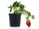Fragaria Strawberry 1qt