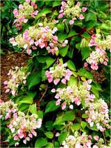 Hydrangea Climbing 'Schizophragma hydrangeoides' 'Rosea' 6qt