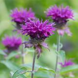 Monarda 'Purple Rooster' Bee Balm 6qt