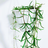 """String of Needles 'Ceropegia linearis' in a Hanging Basket 4.5"""""""