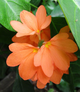 "Crossandra Orange Marmalade 'Firecracker Flower' 4"""