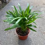 Palm Grass 'Setaria palmifolia' Rubra & Variegated 1g