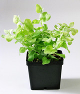 """Licorice Plant 'Helichrysum petiolare' 4.5"""""""
