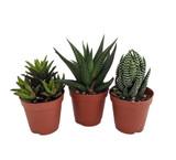 """Haworthia Succulent 4"""""""