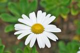 """Daisy 'Montauk' Nipponanthemum nipponicum 8"""""""