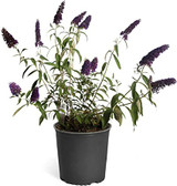 Butterfly Bush Buddleia 'Black Knight' 3g