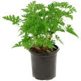 "Citrosa 'Mosquito"" Plant  4.5"" 6"" 8"""