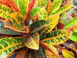 Croton close-up