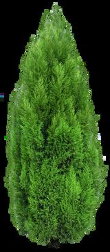 Lawson Cypress 'Chamaecyparis ellwoodii' 1qt