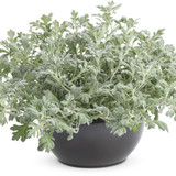 Artemisia 'Dusty Miller' Flat and 'Silver Mound' 3qt