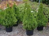 Dwarf Alberta Spruce 'Living Christmas Tree' 1g, 3g, 5g