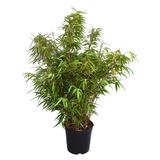 Bamboo Fargesia Bamboo 5g