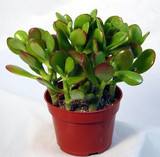 """Jade Plant 'Crassula ovata' 2"""" 3"""" 4"""" 6"""" 8"""" 14"""""""