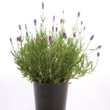 "Lavender 'Lavandula angustifolia' 5"" 6"" 10"" 1g"
