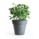 Lemon Citrus Tree 1g