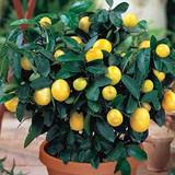 Lemon Citrus Tree 1g 3g