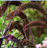 "Millet Grass 'Pennisetum glaucum' 10"""