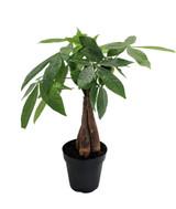 "Pachira aquatica 'Money Tree' 4"" 6"" 10"" 14"""