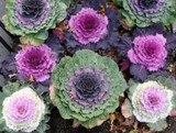 "Ornamental Cabbage 4.5"" and 9"""