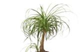 "Palm 'Ponytail' Palm 4"" 6"" 10"" 12"""
