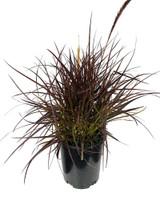 "Fountain Grass Red/Purple 'Pennisetum Rubrum' 6.5"" 2g"