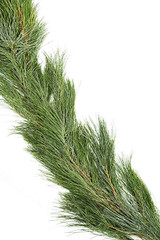 Roping / Garland White Pine