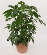 "Schefflera 'amate' actinophylla 6"" 10"""
