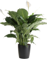 """Spathiphyllum Lynise 'Peace Lily' 4"""" 6"""" 8"""" 14"""""""