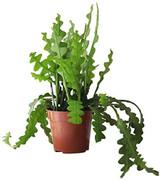 """Cactus Fishbone 'Ric Rac' 6"""" and Hanging Basket 8"""""""