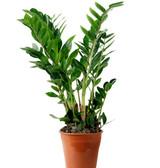 """ZZ Plant 'Zamioculcas Zamifolia' 4"""" 6"""" 8"""" 10"""" 12"""" 14"""""""