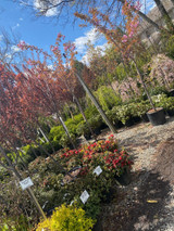 Trees and Shrubs arrive weekly from our nurseries