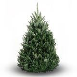 What is a Balsam Fir Christmas Tree?